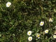Walking on the grass and daisies showing my feet