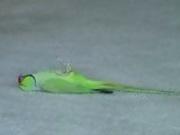Amazing bird tricks
