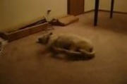 Sleep Walking Dog Runs Into Wall