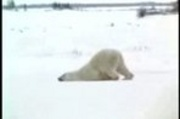 Polar bear hates Monday