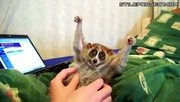 Slow loris tickle