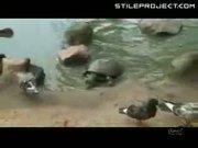 Turtle eats pigeon