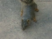 Squirrel Playing Dead
