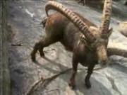 goat scratching its own ass with its horn