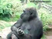 Gorilla barfs green poo