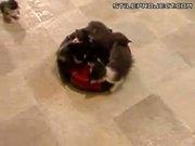 Kittens Haz Ride On Roomba