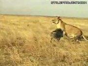 Warthog Pig Vs. Lion