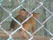 Baby Monkey Humping Kitten