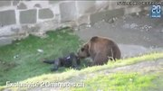 Bear Attacks Mentally Handicapped Man In Bern