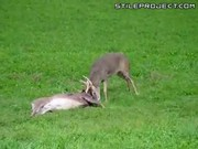 Whitetail Deer Battle, Injured Bloody Ass