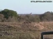 Battle At Kruger Between Lions, Buffalos & Crocodiles