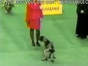 Dog Shits During Dog Show