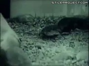 Anaconda Vs. Pig