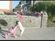 Pug Dog Walks Like People