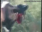 cow with its face ripped off by a train STILL ALIVE