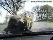 two baboons fucking on the car hood