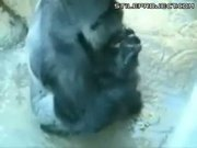 Gorilla Eats Poop Off Floor, Pukes & Repeats