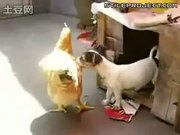 Crazy dog pulls chicken into its roost and rapes it