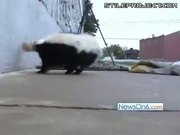 Skunk Gets Head Caught In Peanut Butter Jar
