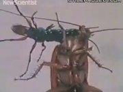 zombie cockroach