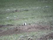 Prairie Dog Hunting With Sniper Rifle - Maximum Carnage