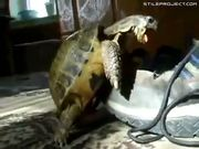Horny Turtle Humps Shoe
