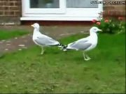 Crazy Dancing Seagulls