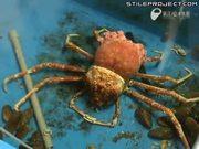 big ass crab sheds it shell