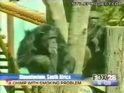 Charlie The Chimp Has A Smoking Problem