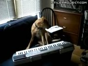 Amazing dog playing keyboard